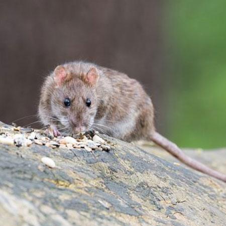 Knaagdieren bestrijden - Plaagdierbestrijding Nederland - Uw specialist in preventie en bestrijding van knaagdieren.