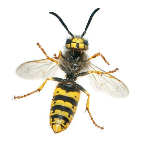 Wespen bestrijden - Plaagdierbeheersing Nederland - Uw specialist in preventie en bestrijding van wespen.